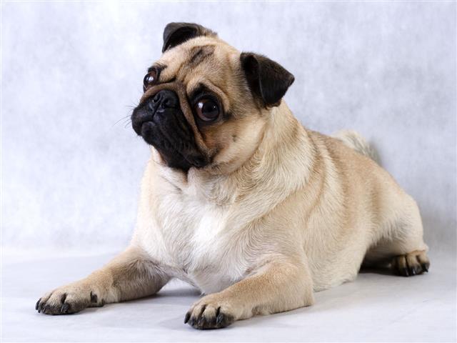 Lying Pug