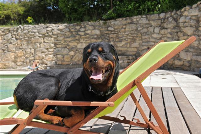 Rottweiler On A Chair