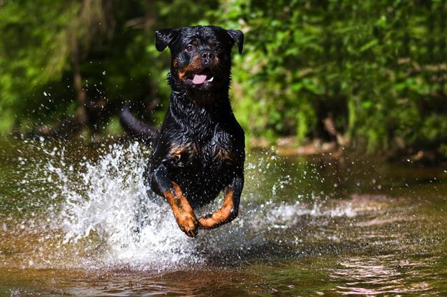 River Rottweiler