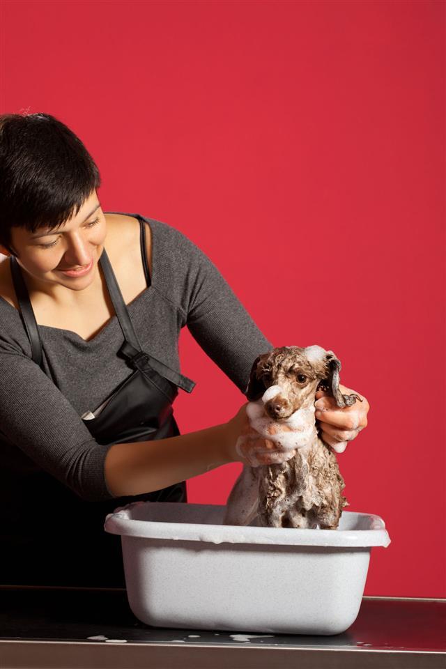 Pet Poodle At Hair Salon