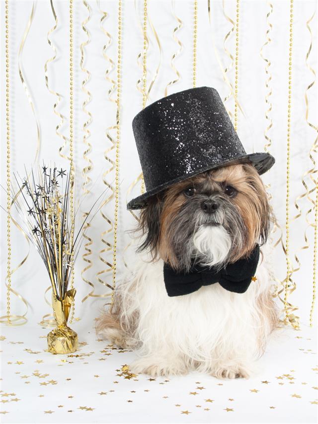 Shih Tzu Celebrates New Years
