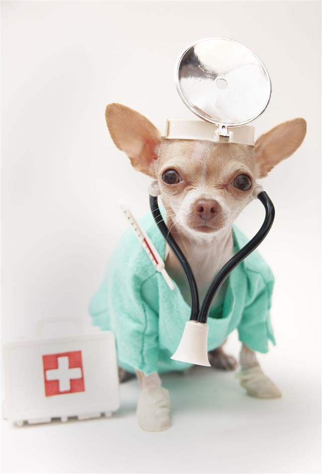 Chihuahua Dressed Like A Doctor