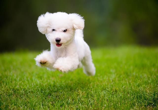happy dog fast running on lawn