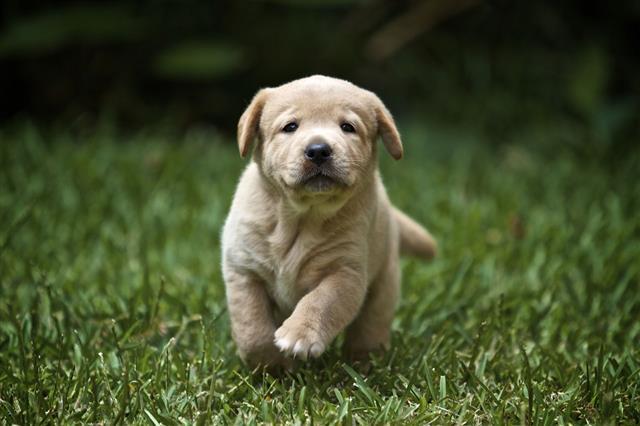Labrador Retriever Puppy Running