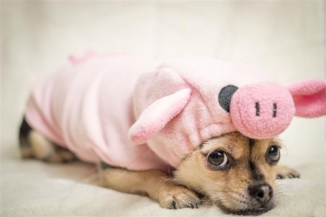 Ms Piggy