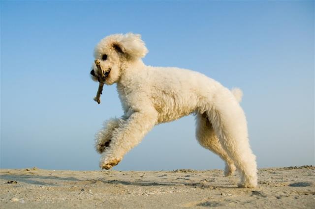 Poodle At Sea