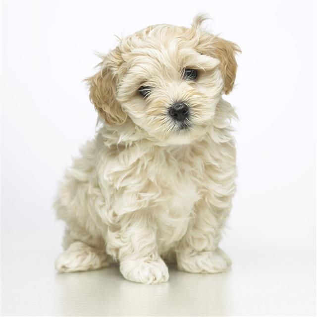 Furry Beige Puppy