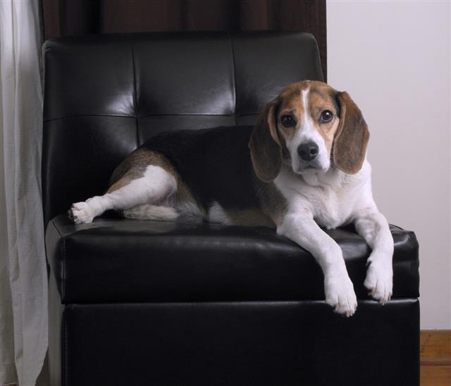 Bored Beagle