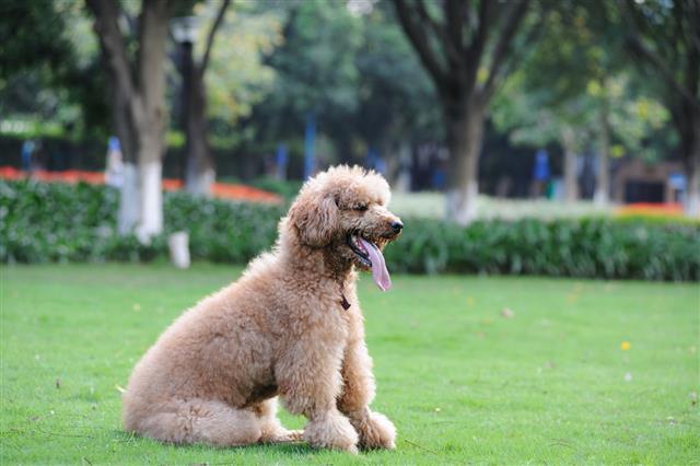 Poodle Dog Sitting