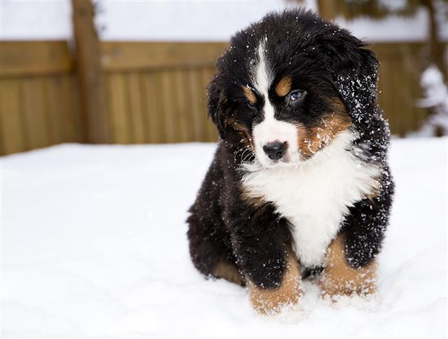 Bernese Mountain Dog Puppet