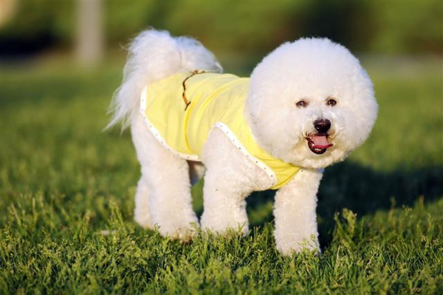 White Cute Bichon Dog Xlarge