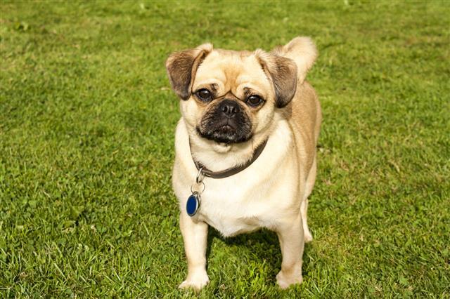 Dog Pug On Green Grass