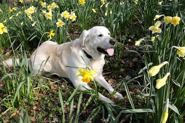 Labrador In Garden