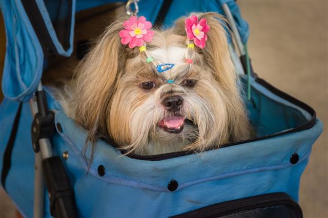 Shih Tzu Lying In Stroller