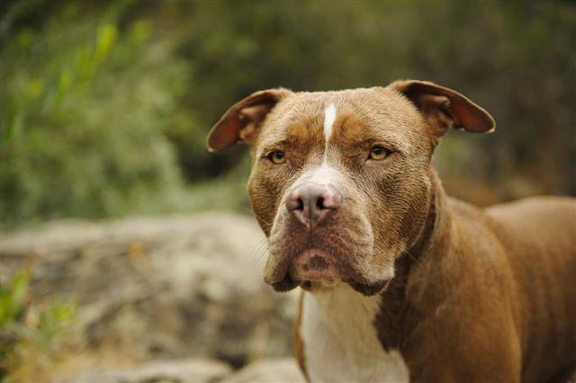 American Pit Bull Terrier Headshot