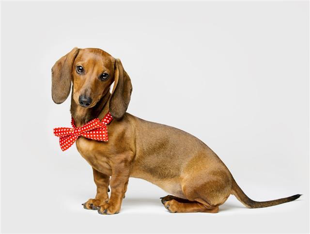 Dachshund Dog Bow Tie