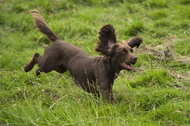 Training A Spaniel