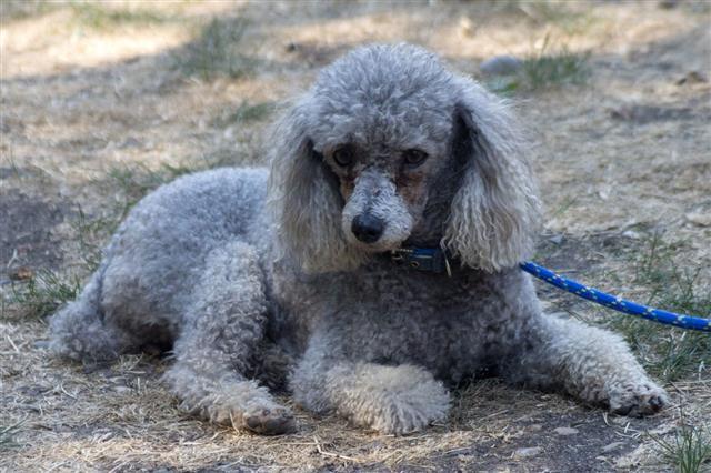 Grey Poodle