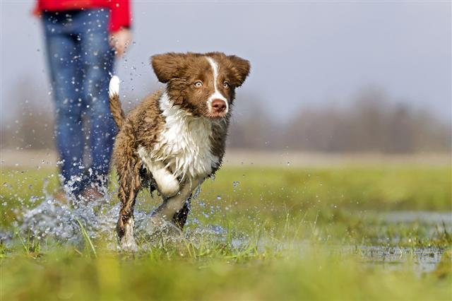 Border Collie Running Through Water