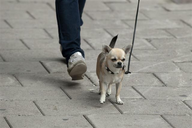 White Chihuahua Walk On The Street