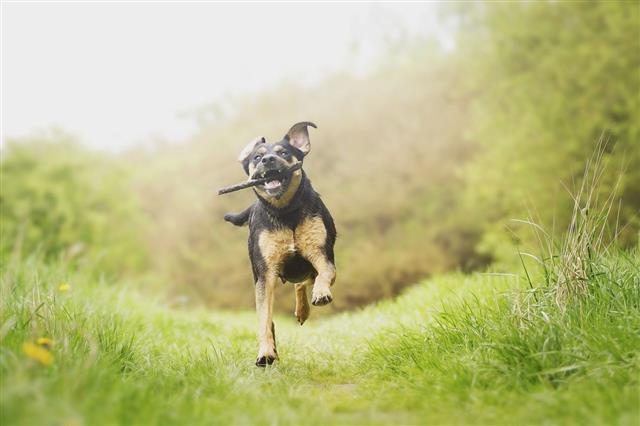 Fun Rottweiler Puppy Running