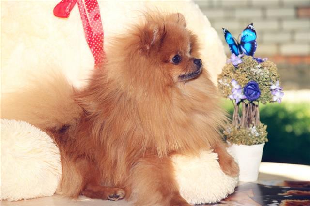 Portrait Of Lovely Pomeranian Dog