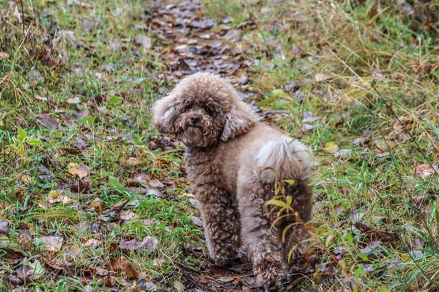 Miniature Poodle On A Trail