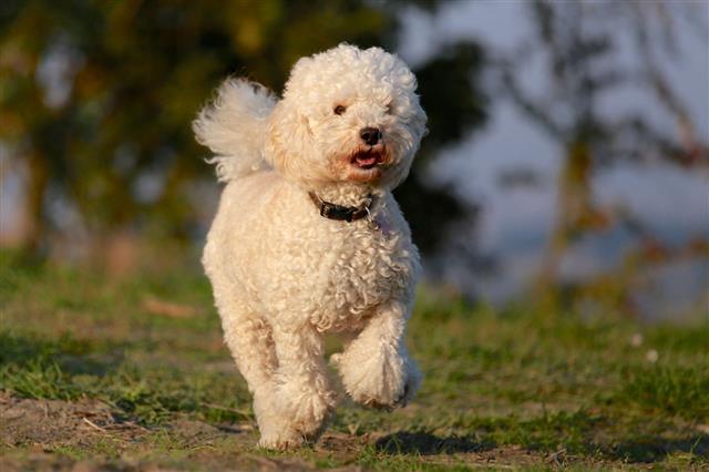 Runner Dog