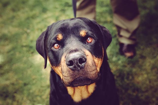 Rottweiler Dog Staring
