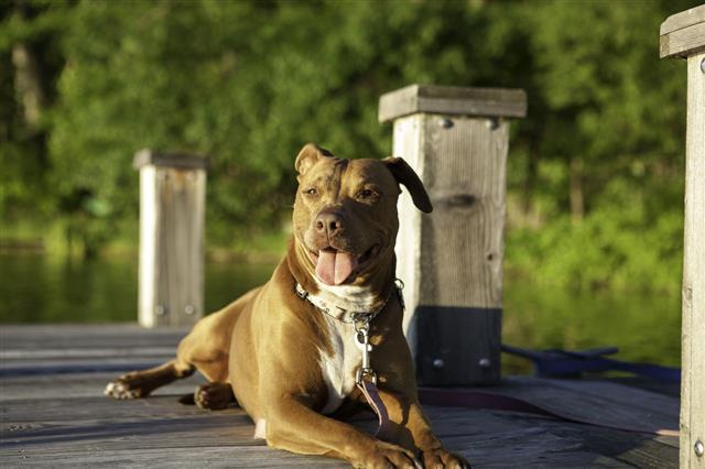 Pit Bull Dog Portrait