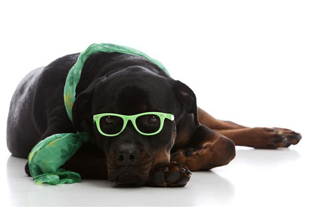 St Patricks Day Rottweiler