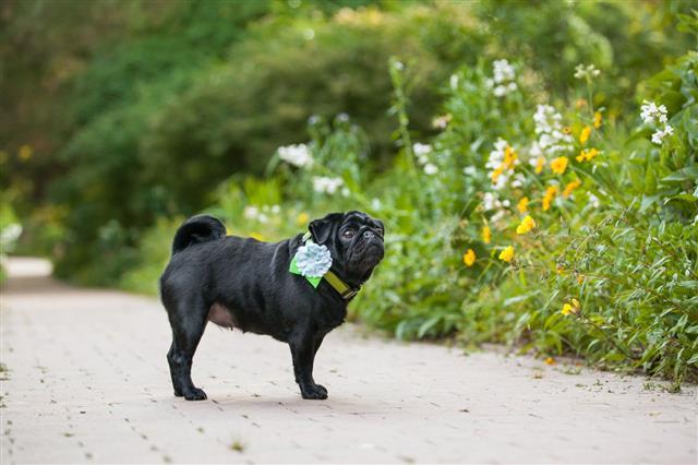 Pug Dog Waits On Brick Path