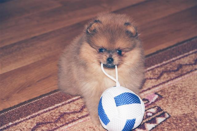 Funny Pomeranian Spitz Puppy