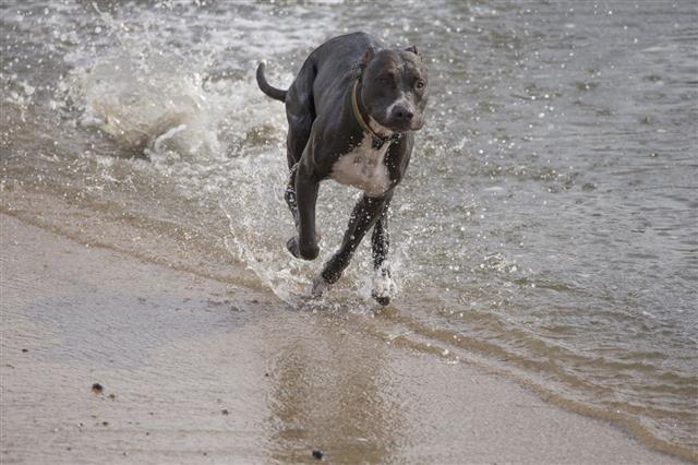Running Pit Bull Dog At Half Moon