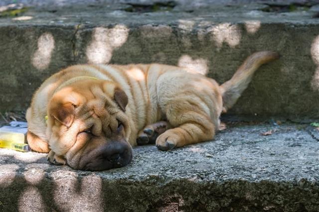 Shar Pei Dog Lying