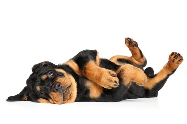 Rottweiler Puppy Resting