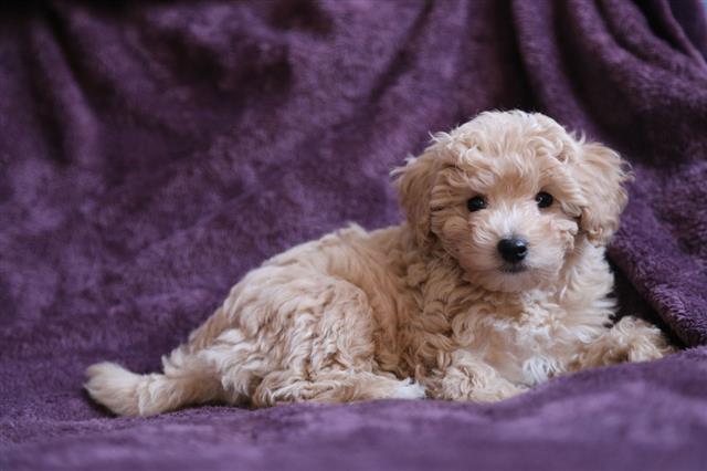 Amazing Baby Dog Poodle