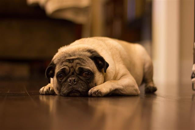 Dash The Pug