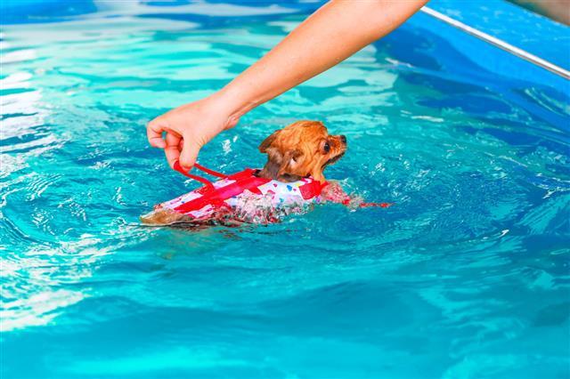 Pomeranian Dog Swimming In Pool
