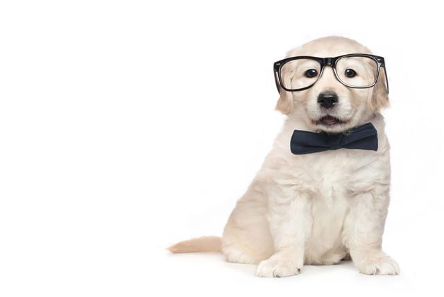 Smart Elegant Golden Retriever Puppy