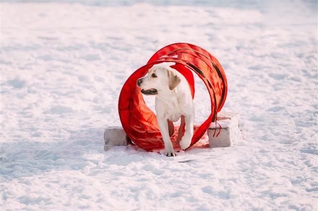 Labrador Dog Playing In Snow