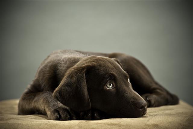 Cute Puppy On Ottoman