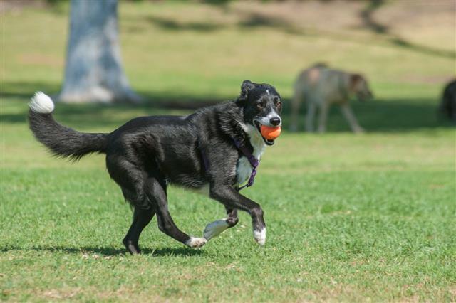 Energetic Herding Dog Having Fun