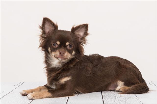 Brown Chihuahua Dog Lying Down