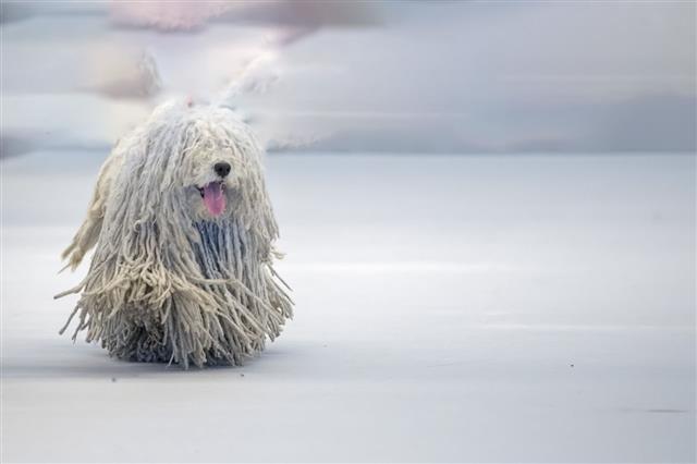 Rasta Poodle White Dog