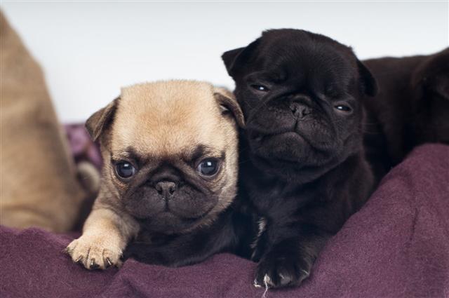 Pug Puppies Portrait