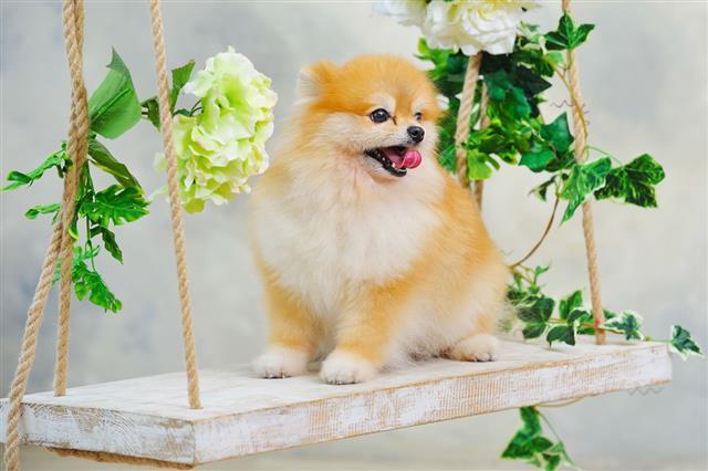 Cute Little Spitz Dog Puppy