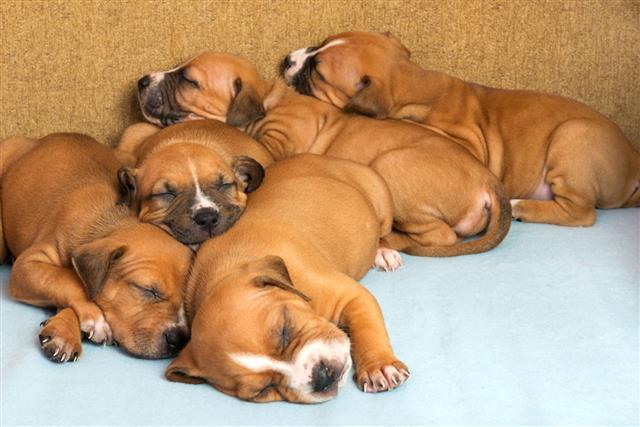 Cute Amstaff Puppy