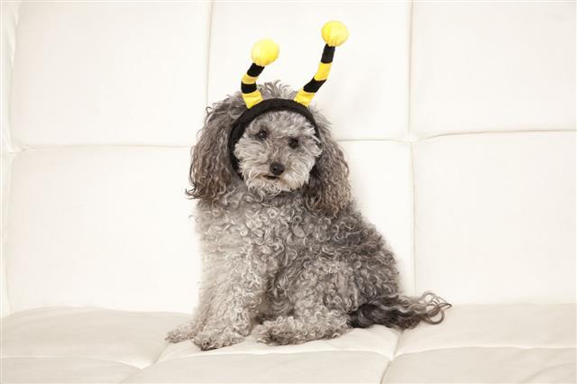 Bee Poodle