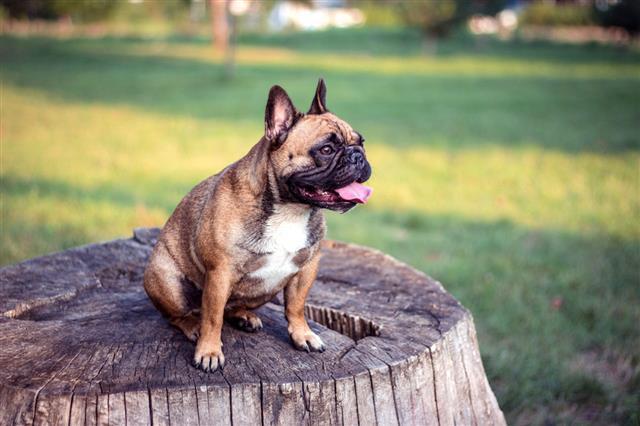 Happy Brown Dog Sitting On Stump